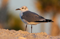 Mouette atricille, Englewood Beach